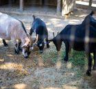 Các loại dê nuôi lấy thịt