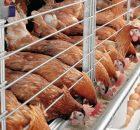 Khẩu phần ăn tối ưu cho gà đẻ